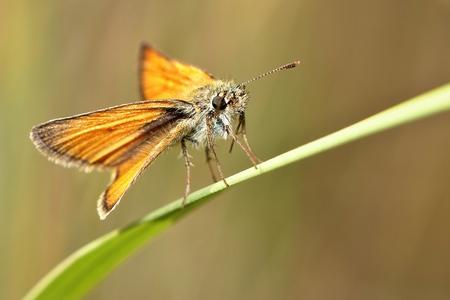 Ochlodes sylvanus, skipper butterfly species