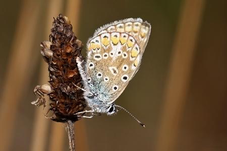 Polyommatus icarus closeup photo