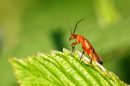 Rhagonycha fulva close-up photo