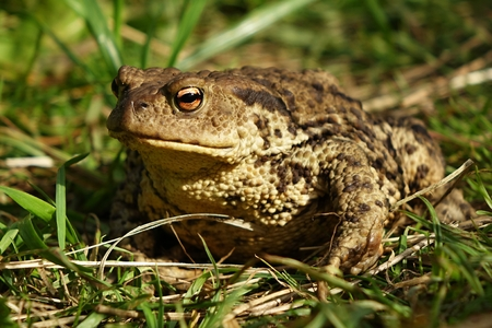 Bufo bufo portrait photo