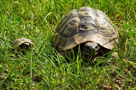 Testudo hermanni family in habitat
