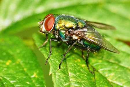 Lucilia sericata is a large European fly Stock Photo