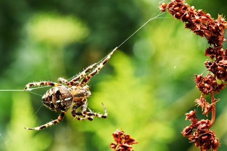 Araneus diadematus, an abundant European spider close up