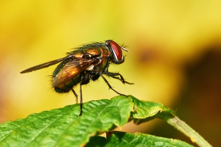 Lucilia sericata is a large European fly,closeup photo