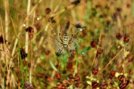 Argiope bruennichi is a very striking European spider