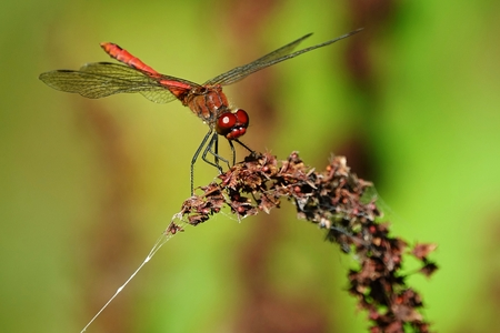 European dragonfly Sympetrum vulgatum,closeup photo