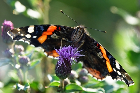 Vanessa atalanta,detail of a European butterfly Stock Photo