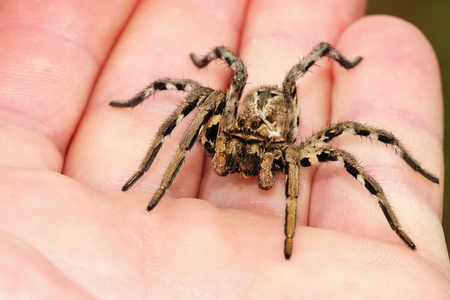 Lycosa tarantula on hands