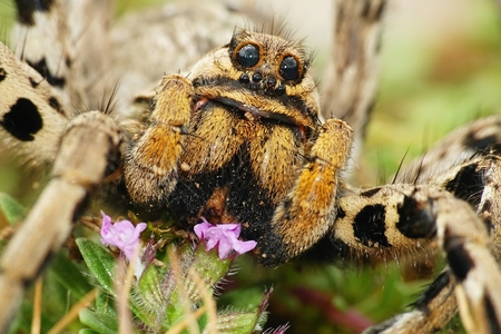 Detail of European spider Lycosa tarantula, Croatia Stock Photo