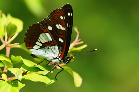 Limenitis camilla,daily European butterfly Stock Photo