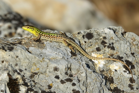 Podarcis siculus closeup photo 스톡 콘텐츠