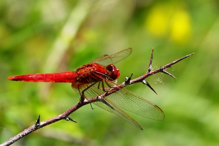 Crocothemis erythraea closeup photo