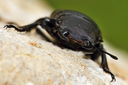 Dorcus parallelipipedus closeup photo
