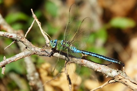 Anax imperator, great European dragonfly, Europe, Croatia