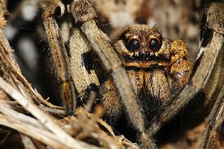 Lycosa tarantula closeup photo