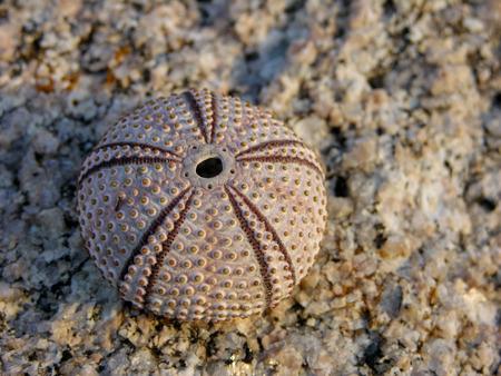 sea urchin: skeleton of sea urchin Stock Photo