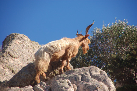 wild goat: cabra salvaje en la roca