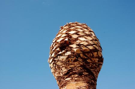 old palm tree (c)