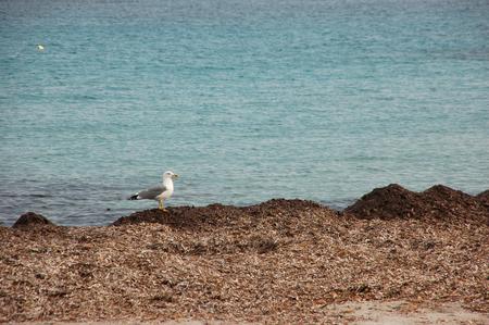 seagull on algae