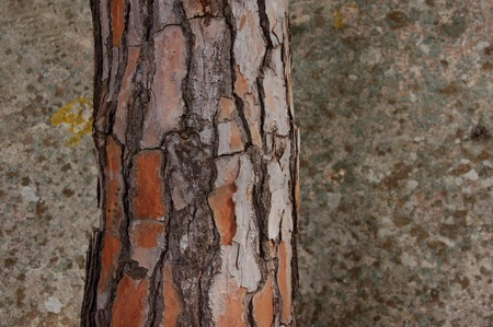 bark of a pine tree Stock fotó