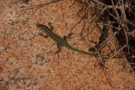 lizards on the granite (a)