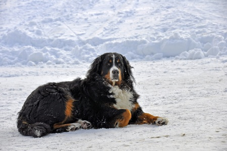 berner: a dog lies in the snow