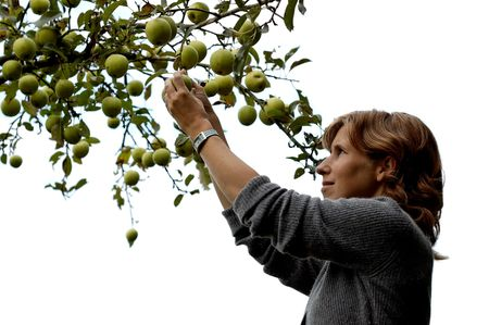 wellbeeing: Beautiful girl picking an apple out of an apple tree. On white background.