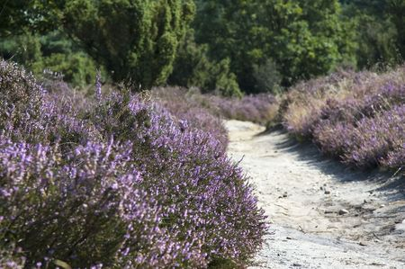 ericaceae: Dutch picture of a path surrounded by heather, with beautiful colors