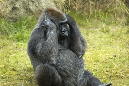 what if: Gorilla with his hands against his ears, as if he doesnt want to hear what you are saying.