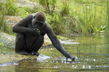 Gorilla trying to grab his food out of the water, although he doesn t really like the water!