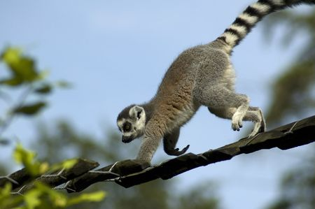 catta: Lemur catta climbing against a blue sky.