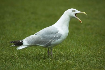 outrageous: Seagull standing on grass shouting at someone. Stock Photo