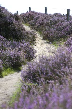 erica: Path leading up through the heather, focus on the 2nd part of the path. Stock Photo