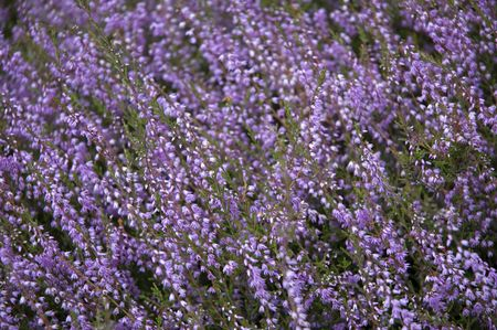diagonally: Beautiful heather in august, placed diagonally. Stock Photo