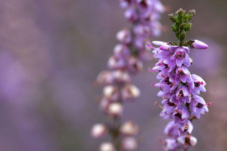 ericaceae: Macro immagine di una parte di erica.
