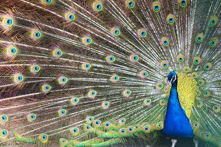 pavo real: Azul pavo real con plumas de colores abierto.  Foto de archivo