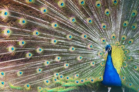 Blue peacock with colorful opened feathers. Stock Photo
