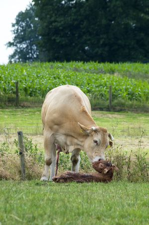 nurturing: White cow cleaning her just born baby cow.