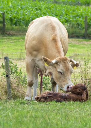White cow cleaning her just born baby cow. Stock Photo - 3263380