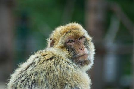 berber: Resting Berber ape in a zoo