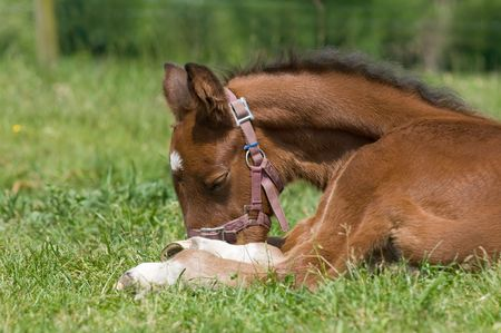 Cute 10 day old foal resting in the grass  photo