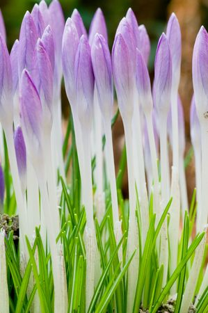 Macro picture of crocusses in the start of springtime photo