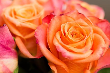 Closeup of a couple of orange roses