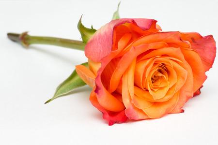 Closeup of an orange rose