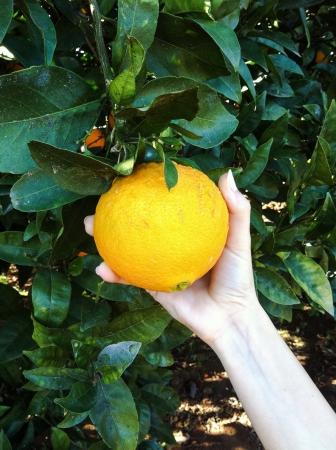 Picking orange 版權商用圖片