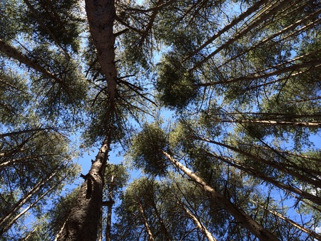 Group of pine trees at the forest