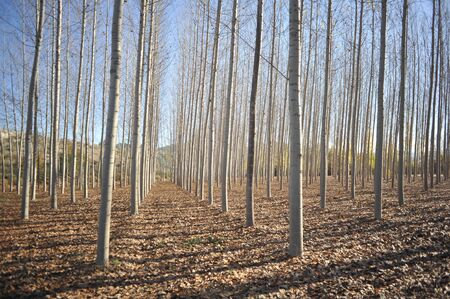 Birch forest without leaves in autumn