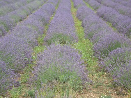 France Europe Provence, South France lavender flower, lavender fields landscape countryside landscape agriculture