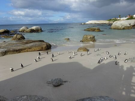 African Colony Penguins at Boulders Beach Table Mountain Nation Cape Bird South Africa 版權商用圖片 - 128725347