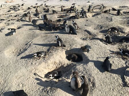 African Colony Penguins at Boulders Beach Table Mountain Nation Cape Bird South Africa 版權商用圖片 - 128725357